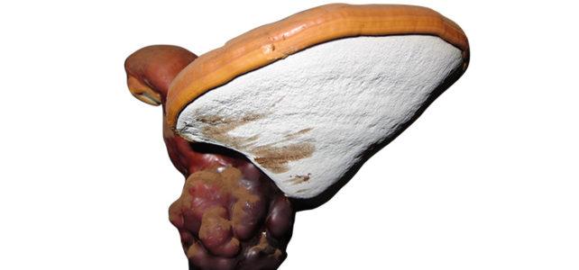 Reishi, Glänzender Lackporling, Ganoderma lucidum
