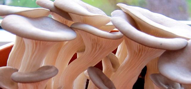 Austernpilze, Pleurotus ostreatus, Austernseitling